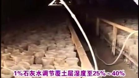 创富小项目食用菇培育_食用菇动态之食用菇姬菇栽培技�v,食用菌shiyongjun