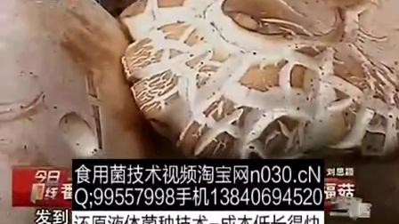 养殖培训食用菌金福菇立体种植高产栽培技�c,食用菌shiyongjun