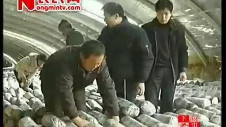 农业好项目大棚平菇出菇后期畸形菇预防工厂化立体高产培养栽培种植技�c,食用菌shiyongjun
