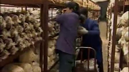 农业科技温室里栽培猴头菇工厂化立体高产培养栽培种植技�c,食用菌shiyongjun