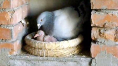 記錄④:家養鴿子育雛
