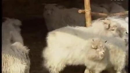 罕山白绒山羊养殖技术5--断奶羔羊的饲养管理视频