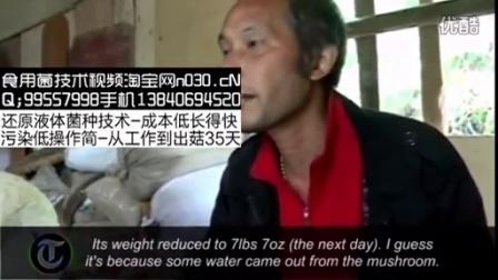 人工培育马勃单个几十斤食用菇新闻食用菌shiyongjun