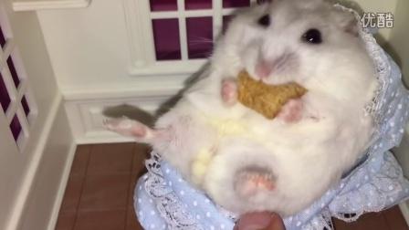 快乐小仓鼠在袖珍婴儿床里吃零食!