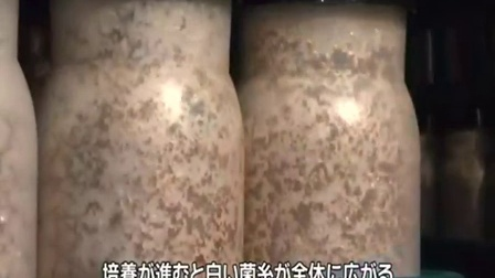 致富技术金针菇工厂化机器化栽培生产工艺-中野市�b-培养视频食用菌shiyongjun