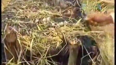 农业好项目农业如何种植新品种草菇蘑菇食用菌shiyongjun