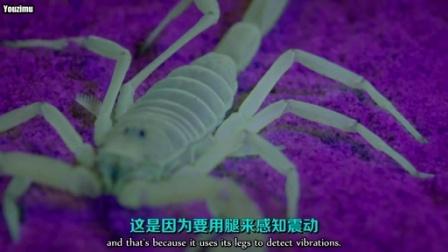用紫外线灯捕获莫哈维沙漠蝎 - 布莱恩考克斯教授 @柚子木字幕组