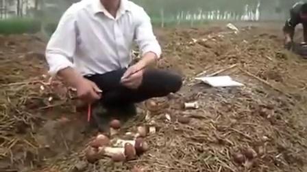 利用温室大棚反季栽培大球盖菇技能讲��,食用菌shiyongjun