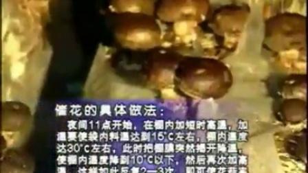 创富发家香菇新贵花菇体培育高产栽培技�v食用菌shiyongjun