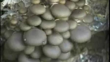 农业创富食用菇栽培学试题之食用菇培育高产栽培技�v1)食用菌shiyongjun