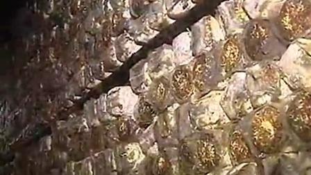 创富项目小秀珍菇平菇成�L之秀珍立体培育高产栽培技�v,食用菌shiyongjun