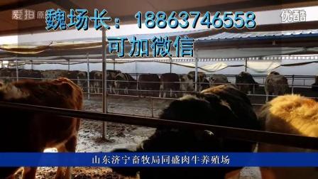 中国最大养牛基地肉牛养殖18863746558视频