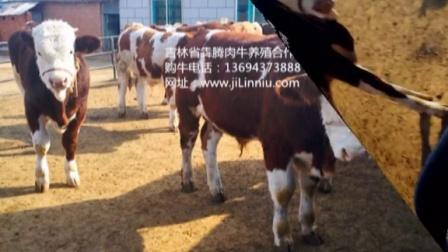 吉林省?腾养牛专业合作社西门塔尔牛肉牛小牛犊育肥牛架子牛视频