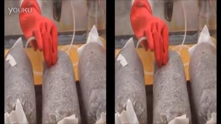 食用菌注射接�模拟臭氧接种�实际运作情况食用菌shiyongjun