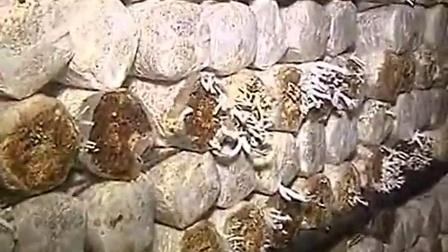 创业新项目秀珍菇小平菇高效优质种植立体高产栽培新技�c第二集[农广]-央视食用菌shiyongjun