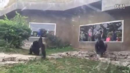 两只大猩猩的精彩对决
