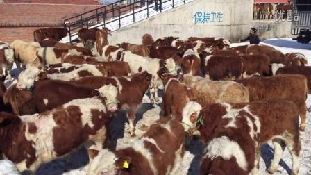 安徽肉牛养殖技术|安徽肉牛牛行|安徽黄牛牛行视频