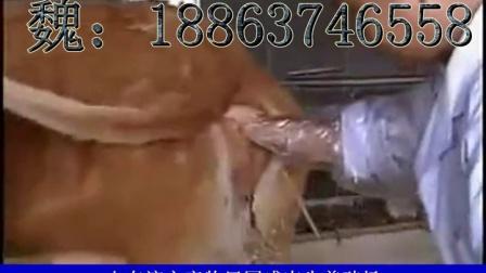 小黄牛价格黄牛养殖场西门塔尔牛养殖技术视频