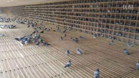 河北省唐山市遵化市信发信鸽养殖中心给爱鸽补充维生素喂食白菜视频