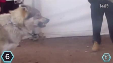 世界十大最强狗