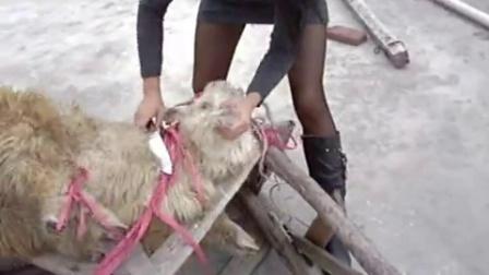女屠夫杀羊