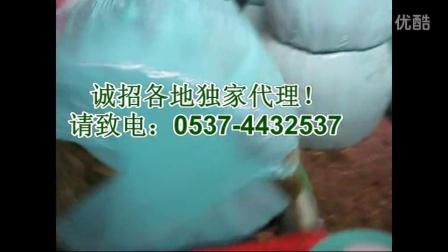 玉米秸秆发酵养牛视频