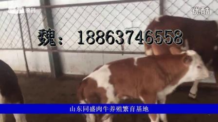 西门塔尔牛犊价格小黄牛价格肉牛犊价格肉牛养殖场视频