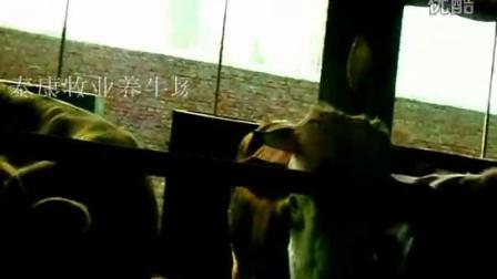 山东养牛基地视频