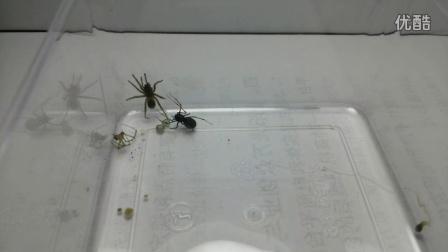 黑条花皮蛛催眠视频视频-自拍-3023蜘蛛-3捕食最陷阱的图片