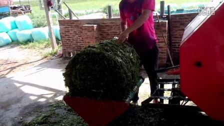 皇竹草发酵养牛技术视频