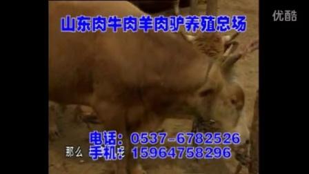 育肥肉牛饲养技术育肥肉牛价格行情视频