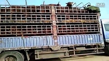 玉米秸秆青贮养牛技术视频