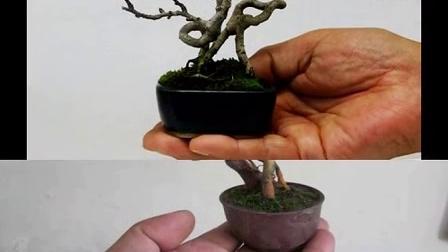 工程绿化苗木供应商 微型 盆景
