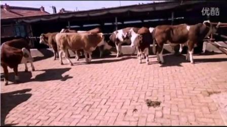 西门塔尔牛养殖技术,西门塔尔牛,东北肉牛,东北肉牛养殖场,东北黄牛,犊牛价格,小牛多少钱,东北最大的视频