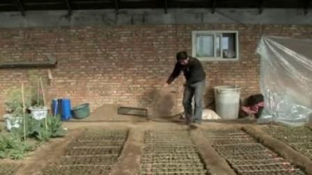 花椰菜春季栽培技術