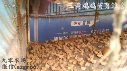 三黃雞雞苗育雛舍視頻-九零農場
