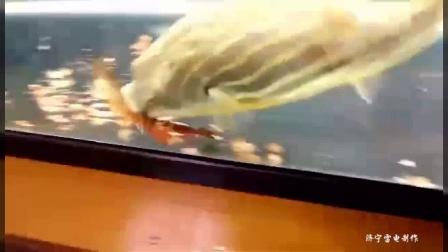 水虎鱼,食黄蜂psv黄蜂童鞋鱼,眼镜蛇雷龙大人鱼信息厂相关狗头图片