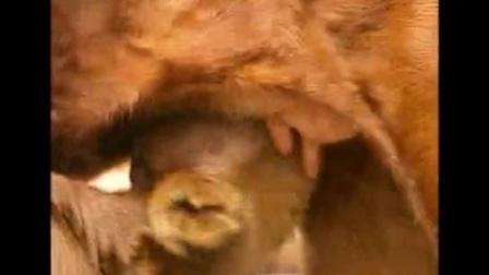 农村养殖好项目,秦川牛犊牛的饲养管理视频