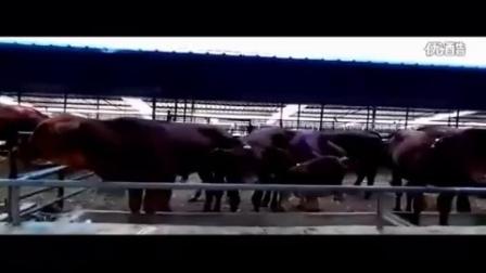 肉牛养殖肉羊西门塔尔牛鲁西黄牛养殖技术-鲁盛牧业视频