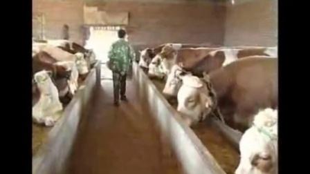 农村养殖项目,养牛秸秆生物发酵饲料养牛技术视频