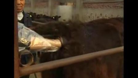 适合农村养殖,安格斯牛繁育管理视频