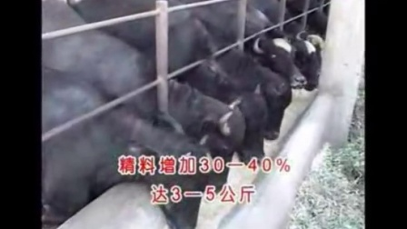 适合农村养殖,育成水牛的饲养管理技术视频