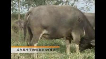 养殖什么不愁销路,水牛的品种介绍和饲养视频