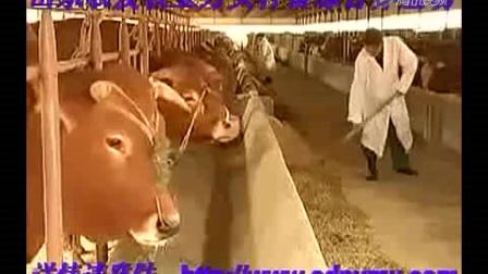 东北最大黄牛肉牛改良牛交易市场吉林黄牛肉牛西门塔尔牛养视频