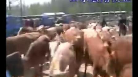 山东肉牛肉羊养殖场山东宏翔牧业肉牛肉羊肉牛养殖技术养殖场视频