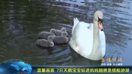 温馨画面 7只天鹅宝宝钻进妈妈翅膀里搭船游湖