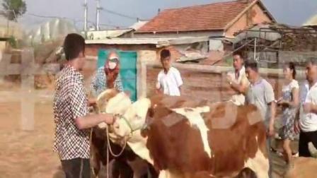 东北最大黄牛肉牛改良牛交易市场、吉林黄牛肉牛西门塔尔牛养殖基地,东北视频