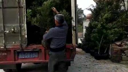 罗汉松,福建罗汉松工程苗木装车,供应优质福建罗汉松