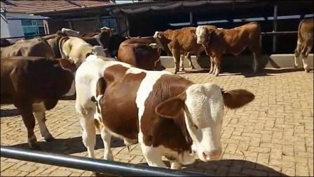 吉林黑山牧业东北黄牛肉牛东北最大黄牛肉牛改良牛交易市场、吉林黄牛肉牛西门塔尔牛养殖基地,东北视频