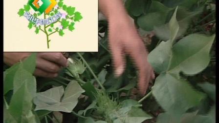 棉花蟲綜合防治技術(上)